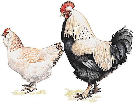 poules faverolles2